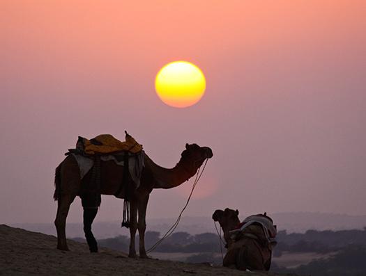 Camel (Image: sushmita balasubramani)