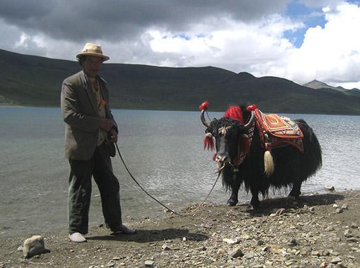 A yak (Image: Greg Walters)