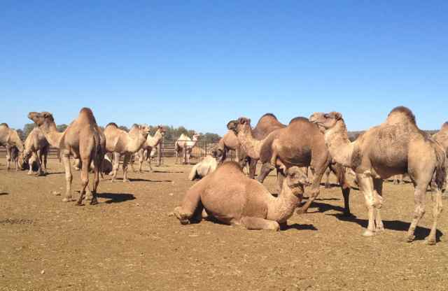 It is not an uncommon site to see camels on the side of the road (Image: Taryn Adler)
