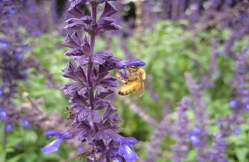 A bee at Christchurch Botanic Garden (Image: the evil monkey used under a Creative Commons Attribution-ShareAlike license)