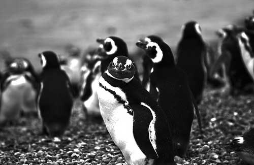 Penguins (Image: k1llYRid0ls used under a Creative Commons Attribution-ShareAlike license)