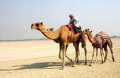 Camels (Image: stevebrownd50)