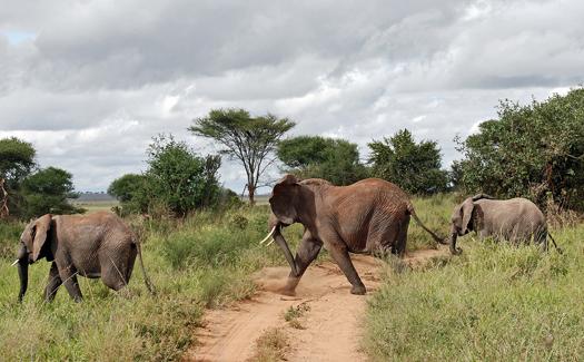 African bush elephants (Image: hbarrison used under a Creative Commons Attribution-ShareAlike license)