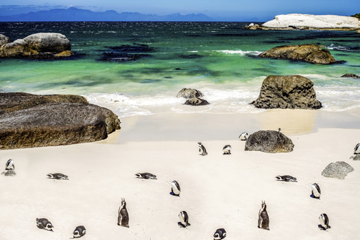 South Africa © LuckyToBeThere/iStock/Thinkstock (http://www.thinkstockphotos.co.uk/image/stock-photo-african-penguin-in-boulders-beach/462098811)