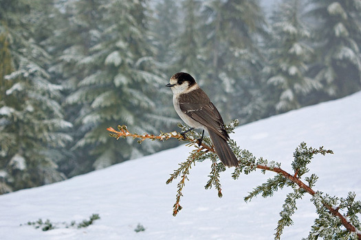 Grey Jay. Mt Seymour, BC, Canada. Photo by Gavin Schaefer