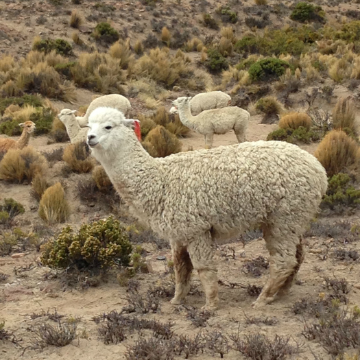 Llamas and alpacas graze along the side of the road (Image: Melisse Hinkle)
