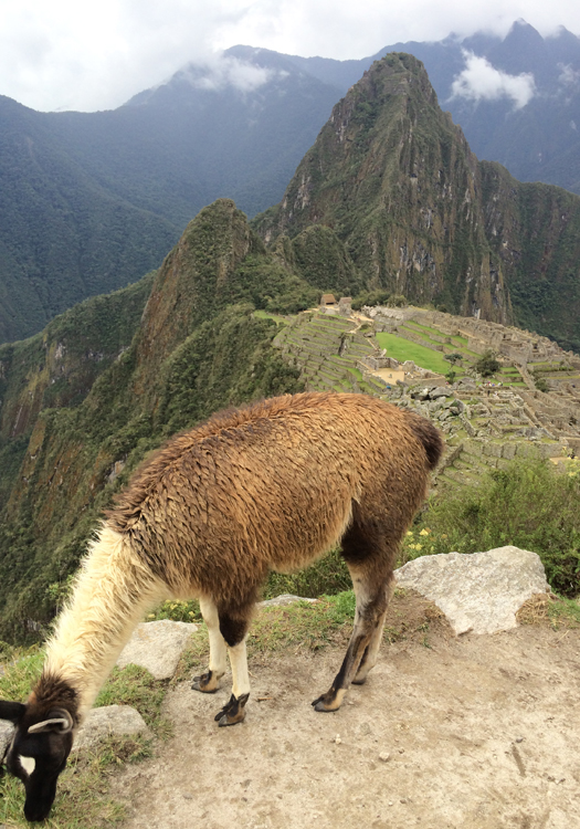 One of the many llamas of Machu Picchu (Image: Pearse Lombard)