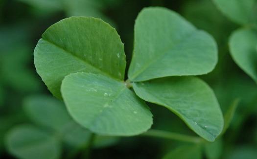 Lucky four leaf clover
