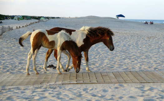Mrs. Gemstone, Assateague August 2014: Horses via Flickr CC BY-SA 2.0