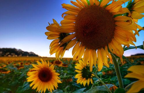 Sunflowers near Bel Air, Maryland (Image: Randy Pertiet)