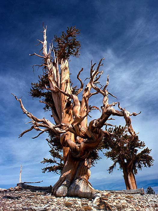 Bristlecone Pines in Inyo National Forest. Photo by USFS Region 5