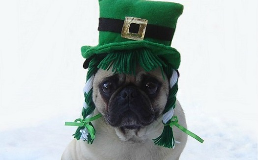 Pug dressed for St. Patrick's Day