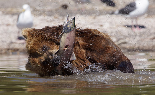 Top 5 places to watch bears catch salmon