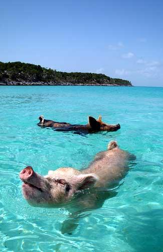 Swimming pigs in Exuma, Bahamas (Image: cdorobek)