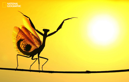 When the Mediterrenean Mantis opened its wings, It seemed very impressive at the sunshine ... Photo and caption by Hasan Baglar, National Geographic 2014 Photo Contest