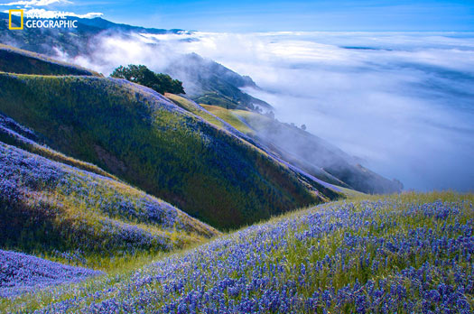 I'd gone to Big Sur to watch the gray whale migration from the cliffs, but it was too foggy to even see the water. I decided to hike up the Baronda Trail to see if I could get above the fog. This view was my reward. Miles of lupine and blue skies. Outstanding! Photo and caption by Douglas Croft, National Geographic 2014 Photo Contest