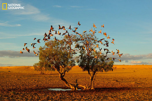 """""""In the Strezlecki desert of Australia a flock of galahs replenish on the only small water available at the base of this lonely tree. It's a rare photo opportunity to get such a clear and symmetrical shot of these beautiful birds in flight in the middle of the desert."""" Photo and caption by Christian Spencer, National Geographic 2014 Photo Contest"""