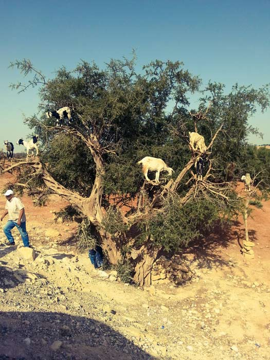 Tamri goats climbing  Argan trees in search of food. Photo: Tola A.