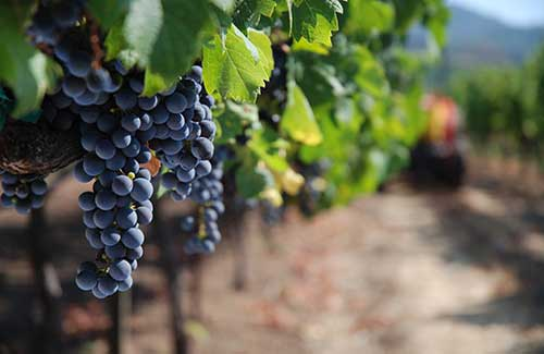 Kunde Winery & Vineyards, Kenwood (Image: California Travel and Tourism Commission / Blaise)