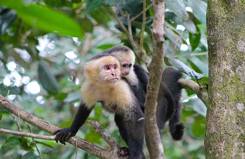 Capuchin monkeys in Costa Rica (Image: LeafLanguages used under a Creative Commons Attribution-ShareAlike license)
