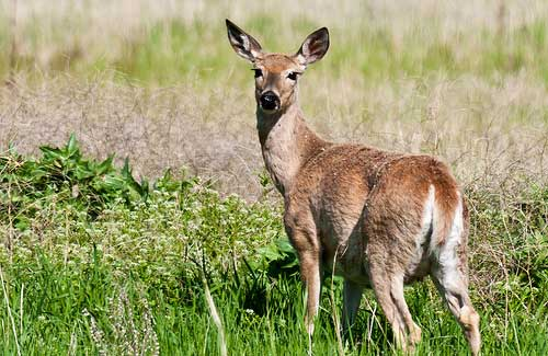 Deer (Image: NWCouncil)
