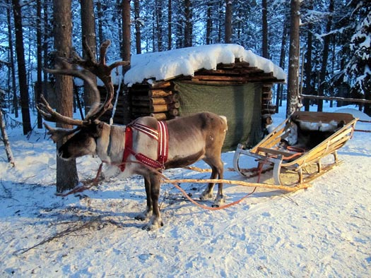 Reindeer and sleigh in  Lapland. Photo: Heather Sunderland