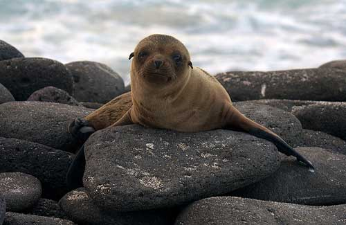 Baby sea lion, Galapagos (Image: Andrew Turner)