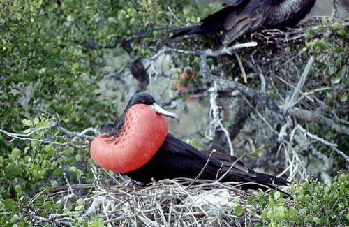 Great Red Breasted Frigate Bird, Galapagos (Image: MAZZALIARMADI.IT used under a Creative Commons Attribution-ShareAlike license)