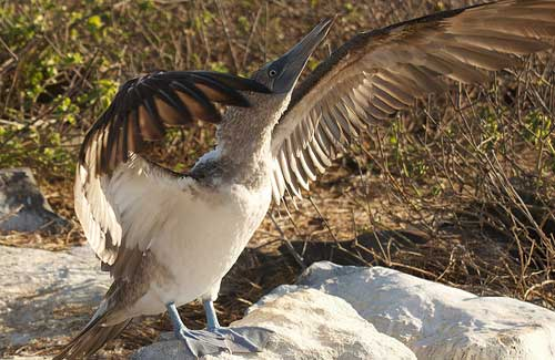 Blue-Footed Boobie, Galapagos (Image: Andrew Turner)