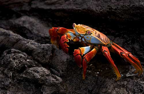 Sally Lightfoot Crab, Galapagos (Image: Andrew Turner)