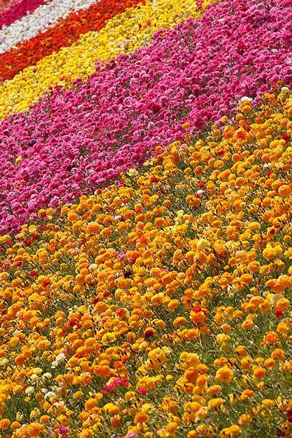 Carlsbad flower field (Image: swotai)