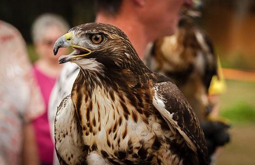 A hawk at the Boyd Hill Nature Preserve (Image: Holmes Palacios Jr.)