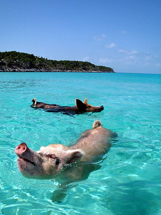 Swimming With Pigs!