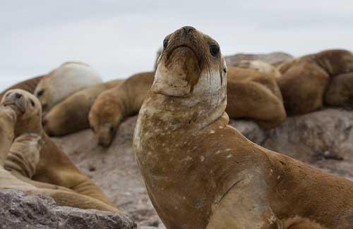 Sea lions (Image: k1llYRid0ls used under a Creative Commons Attribution-ShareAlike license)