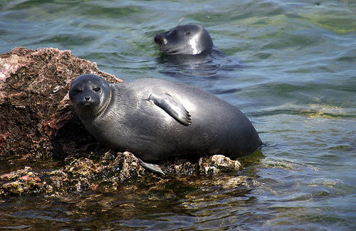 Nerpa, a species of seal native to Siberia (Image: Sergey Gabdurakhmanov)