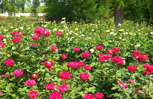 Tyler Rose Garden, Texas (Image: gurdonark)