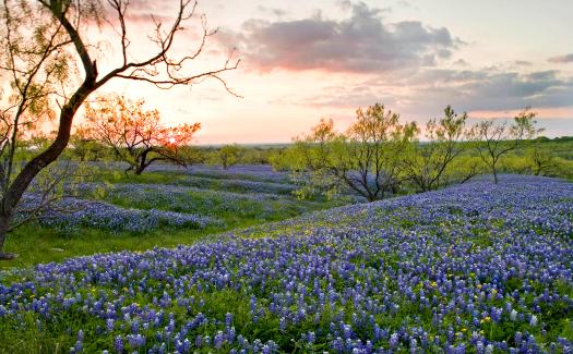 bluebonnets in Texas (Image: usfwshq)