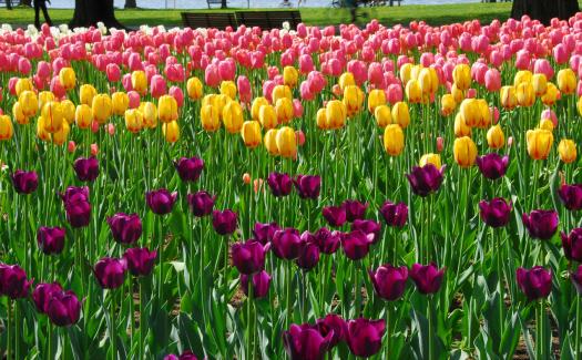 Ottawa Tulip Festival (Image: aseemsjohri used under a Creative Commons Attribution-ShareAlike license)