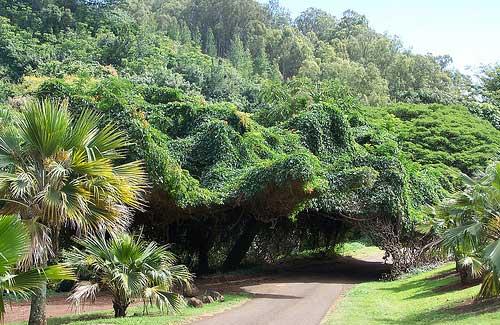 National Tropical Botanical Gardens (Image: Makuahine Pa'i Ki'i)