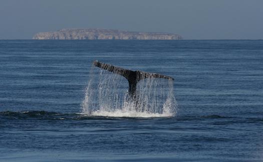 A whale sighting off the coast of Puerto Vallarta (Image: Moosealope)
