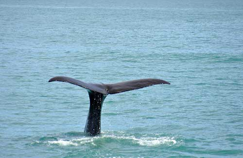 A whale dives underwater (Image: xiffy used under a Creative Commons Attribution-ShareAlike license)