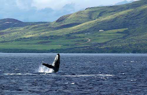 A whale surfaces off the coast of Maui (Image: belindah-Thank You!-150.000 Views Now)
