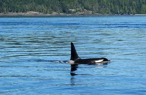 An orca swims along the surface (Image: paulhami used under a Creative Commons Attribution-ShareAlike license)